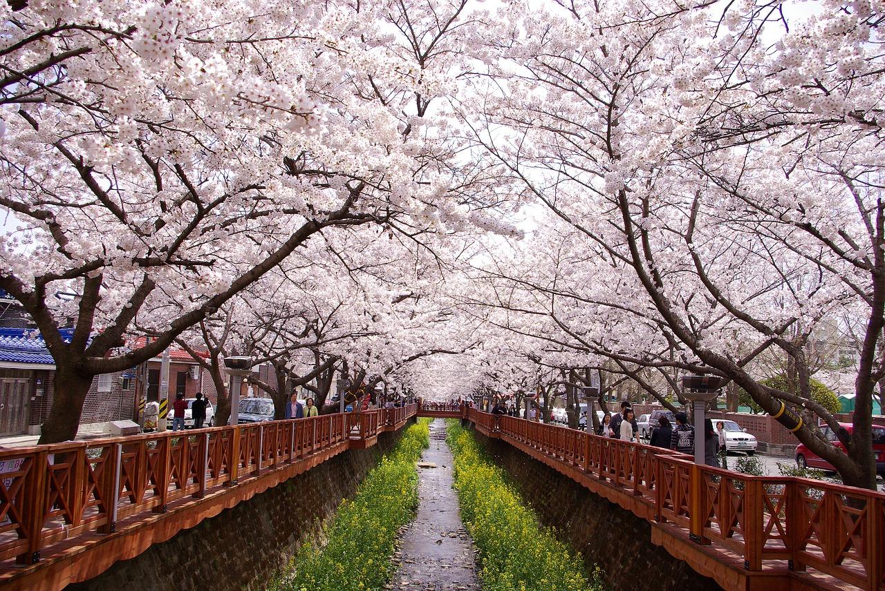 Prediksi Jadwal Mekarnya Bunga Sakura di Korea 2020